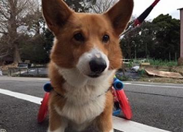 愛知県プラスワン犬の車椅子の採寸方法
